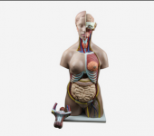 Human male and female torso