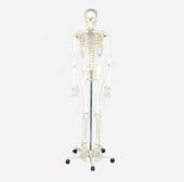 Model of human skeleton(170cm)
